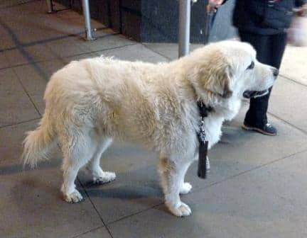 Great Pyrenees - Malesh
