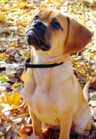 Puggle_small hybrid dogs