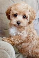 maltipoo small hybrid dogs