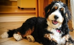 Top 10 Large Hybrid Dogs - Bernedoodle