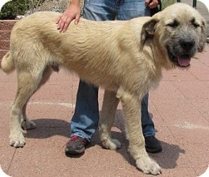 Top 10 Large Hybrid Dogs - Irish Mastiff