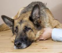 Canine Flu - Be Aware and Protect Your Dog Dogsized