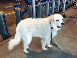A Great Pyrenees in New York City Dogsized
