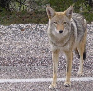 Urban Dogs - You're Not Safe From Coyotes Dogsized