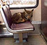 coyote on train