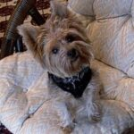 Yorkshire Terrier (aka Yorkie) a spunky little bundle! Dogsized
