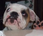 The Bulldog - cute, stocky breed puts a smile on our face! Dogsized