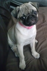 The Pug - Charming, Loving and Mischievous Dogsized