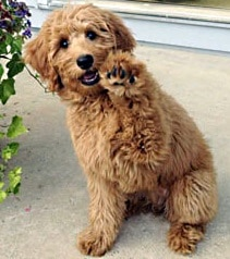 adorable goldendoodle