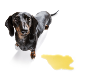 What You Should Know about Using Belly Band For Dogs Dogsized