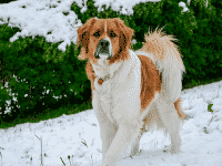 Top 10 Large Hybrid Dogs Dogsized