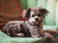 Small Hybrid Dogs For New Fur-Parents