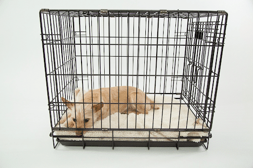 dogsized-white-dog-laying-in-a-crate-1