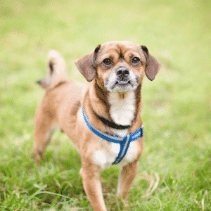 Top 10 Small Hybrid Dogs