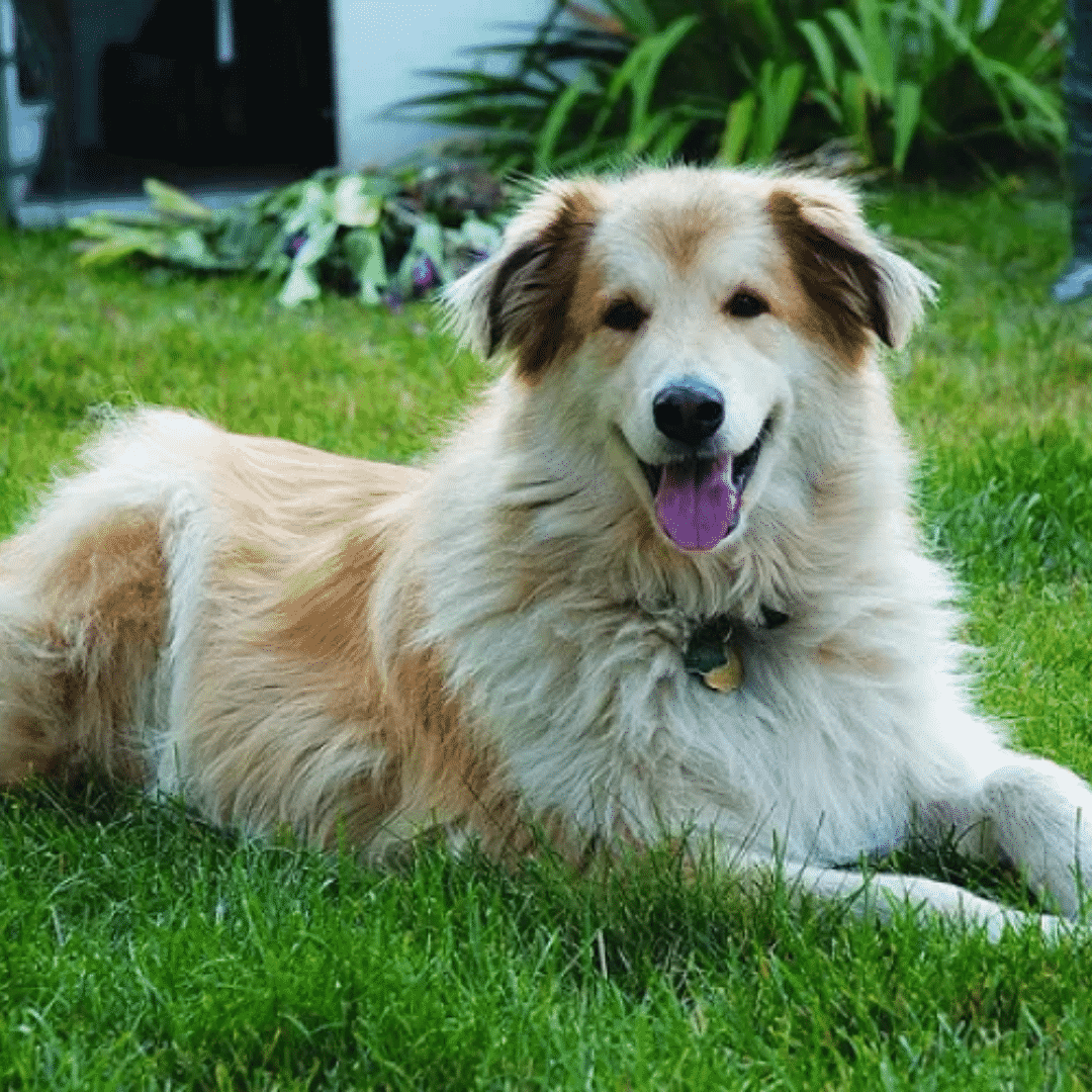 Large Hybrid Dogs For Every Dog Lover! Dogsized