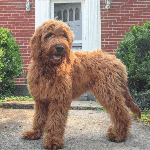 Top 10 Large Hybrid Dogs