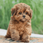 Small Hybrid Dogs For New Fur-Parents Dogsized