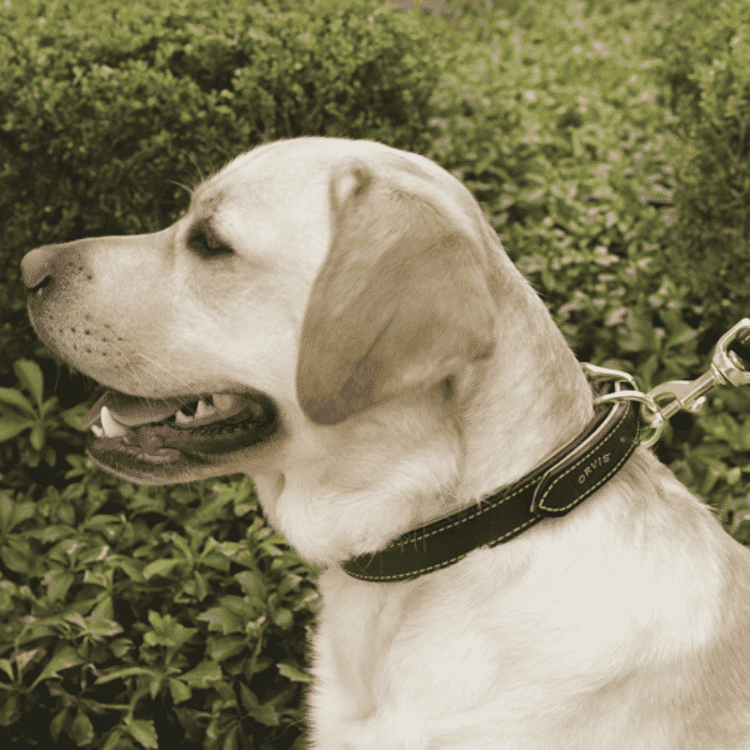 dog wearing Orvis dog collar