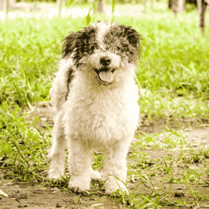 Best Small Hypoallergenic Dog Breeds