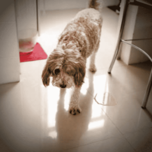 How To Use An Indoor Dog Potty To Housetrain Your Pup
