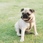 Best Mini Dog Breeds for Tiny Pooch Lovers Dogsized