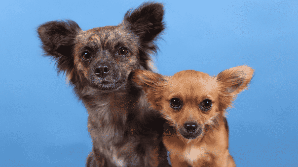 Best Mini Dog Breeds for Tiny Pooch Lovers