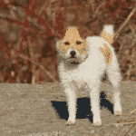 Top 10 Medium Sized Dogs That Don't Shed Dogsized