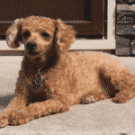 Best Small Hypoallergenic Dog Breeds Dogsized