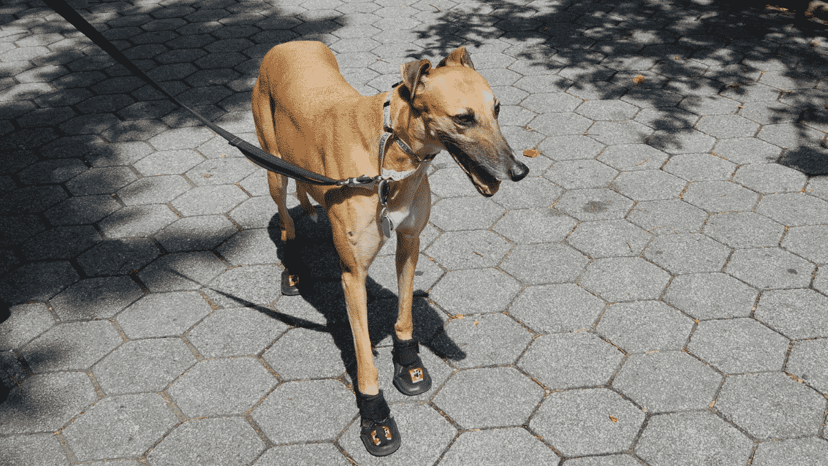 Can Your Dog Wear Dog Boots In The Summer?