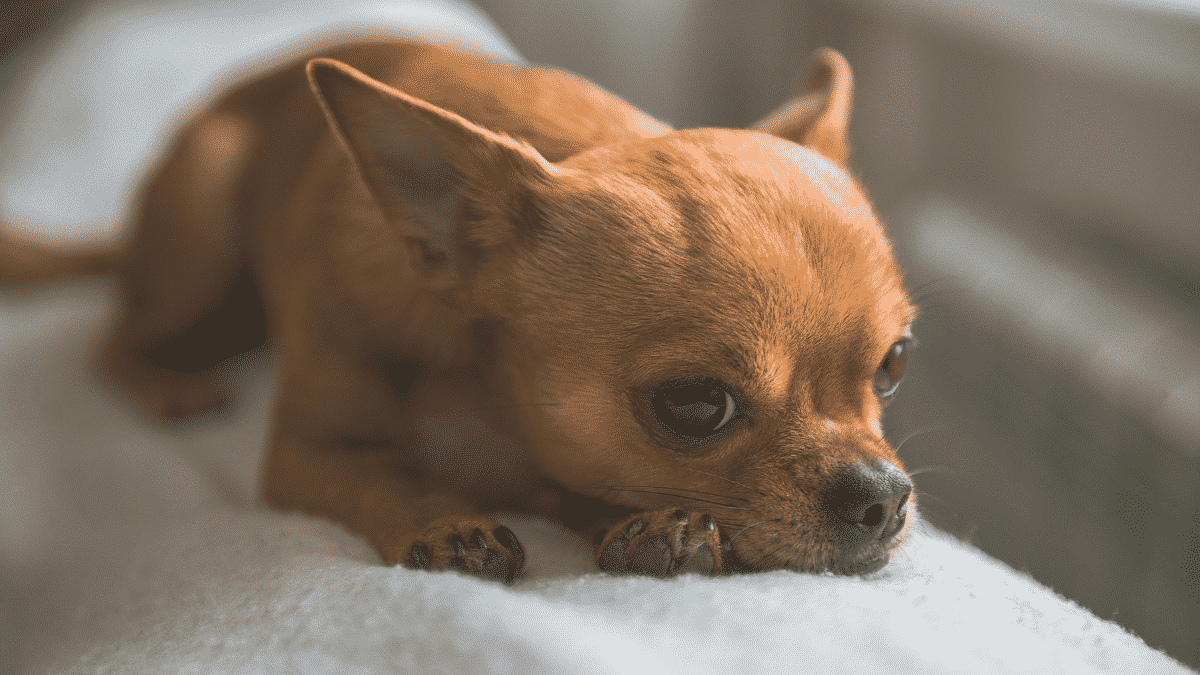 The Truth About Dogs That Stay Small