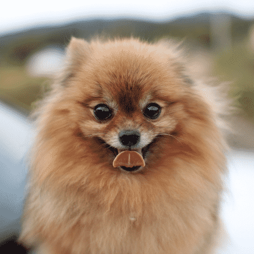 Smallest Dog Breeds In The World Dogsized