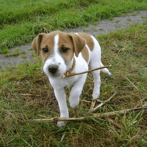 Small Dog Breeds That Are Actually Medium Dog Breeds Dogsized