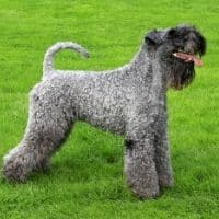 Big Dog Breeds That Don't Shed Dogsized