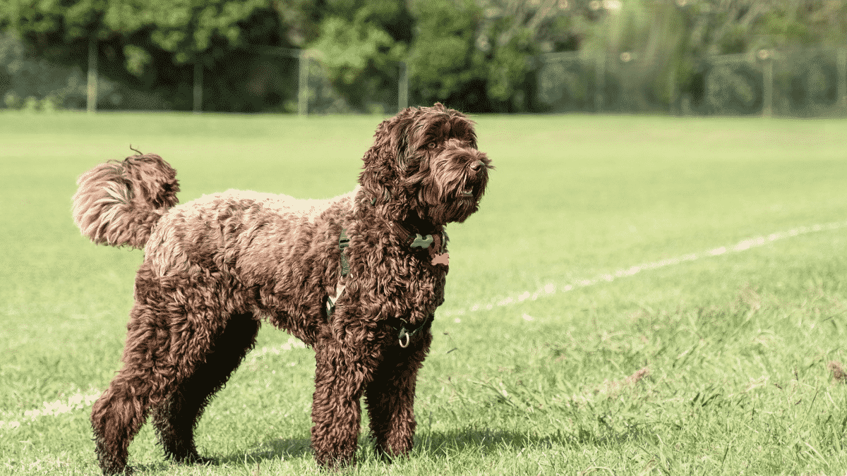 Big Dog Breeds That Don't Shed