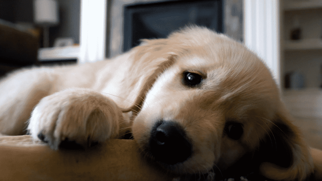 The Best Calm Dog Breeds To Keep You Company Dogsized