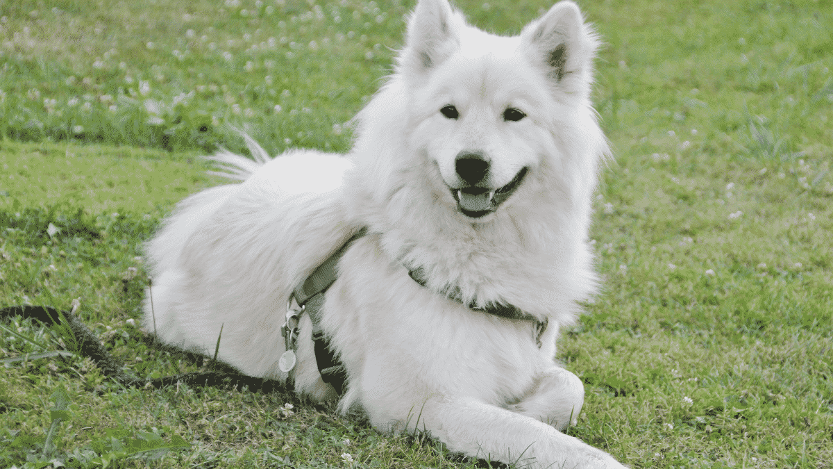 Fluffy Dog Breeds You Will Love to Cuddle